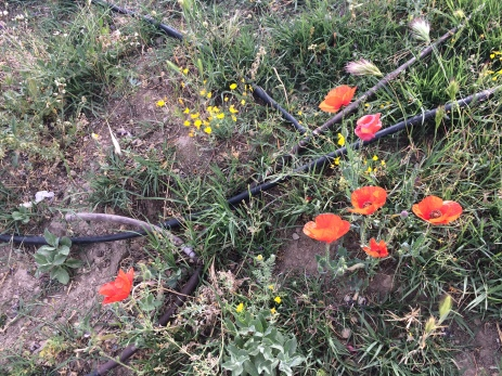 Wild poppies in Andalucía