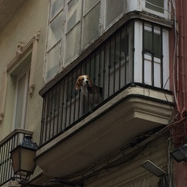 Beagle in Cadiz seeks freedom