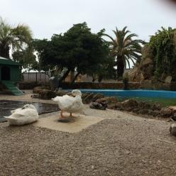 Gaditano Ducks