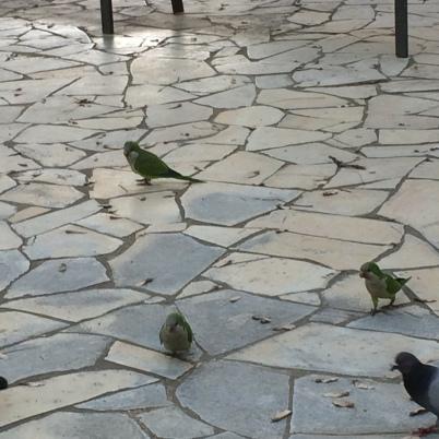 Parrots in Barcelona