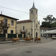Our friend Carlos moving his cows through town